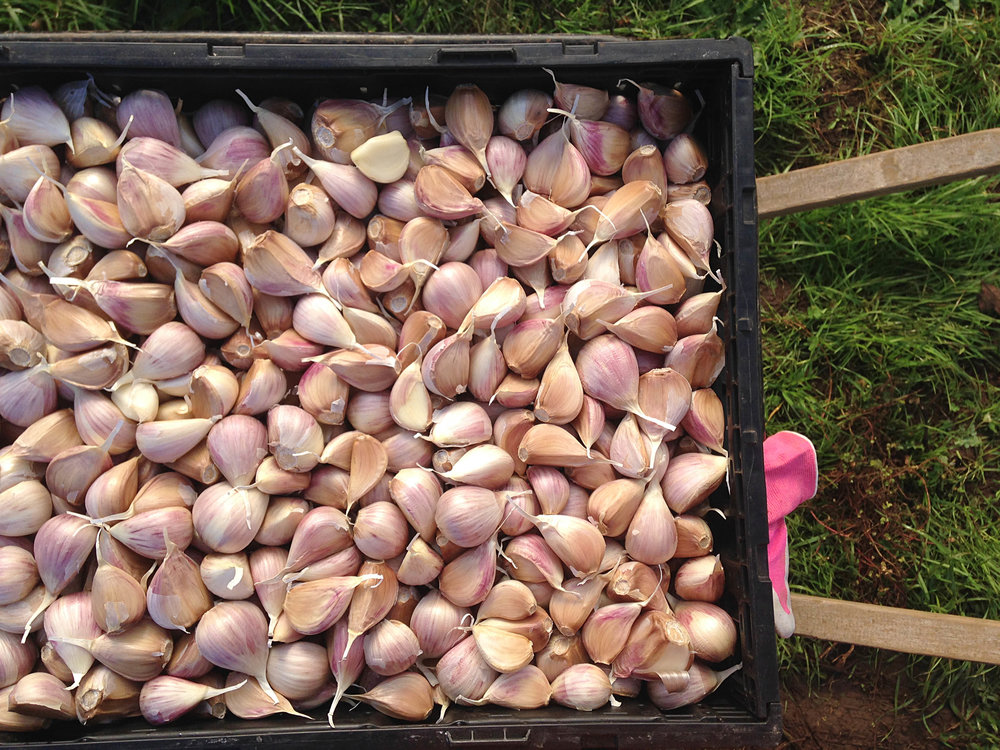 Music seed garlic ready for planting.