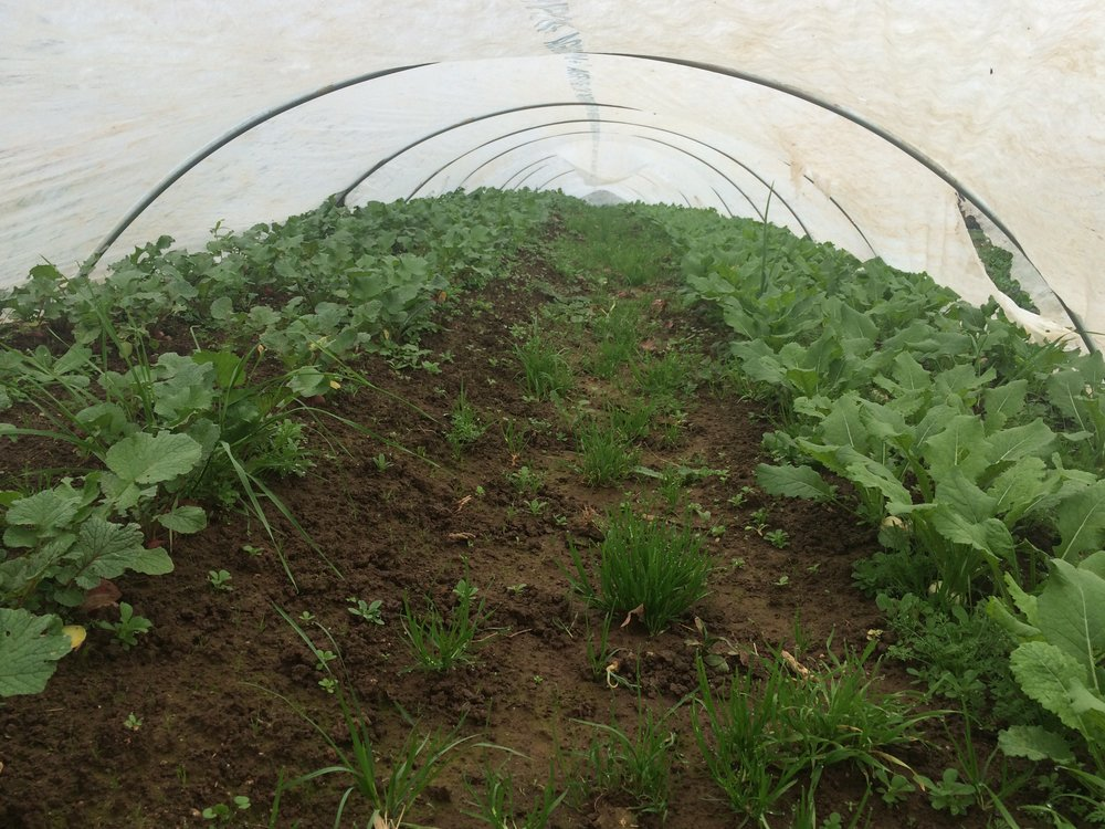 Low tunnel with row fabric over radish and turnips