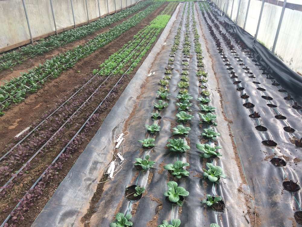 Head Lettuce, Spicy Mesclun, and Spinach still growing strong in the greenhouse