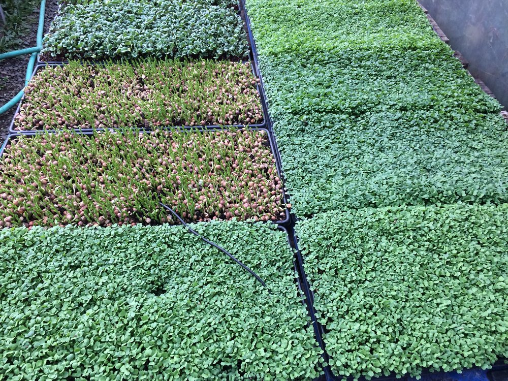 Micro-spicy Mix and Pea Shoots started on heat mats. Greens all year!
