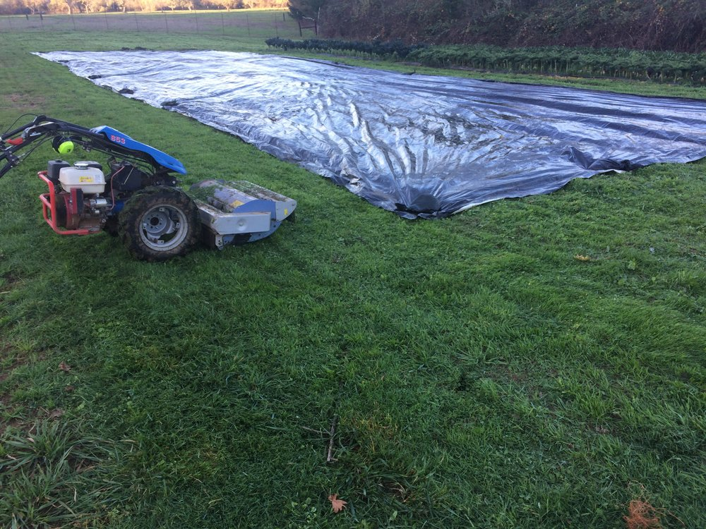 Cabbage plants mowed under after harvest and tarped. This will be the first planting next year.