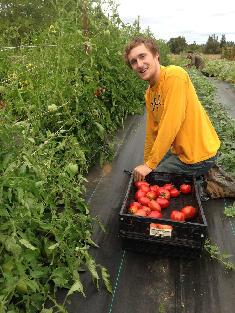 Filling crates with an endless bounty of tomatoes during high August harvest.