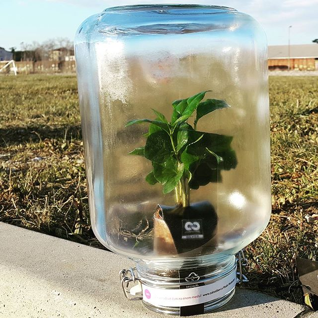 Kavovec v steklenem kozarcu je odporen na burjo -