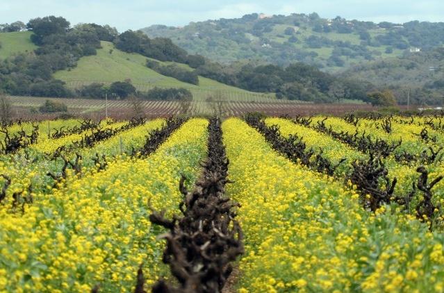 Spring mustard in the vineyards
