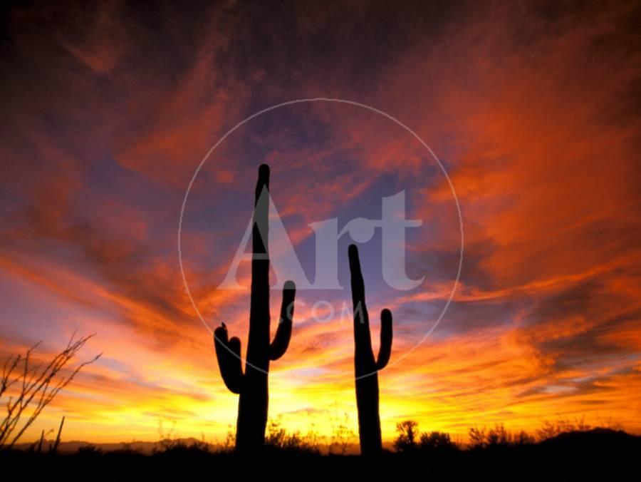 saguaro-cactus-at-sunset-sonoran-desert-arizona-usa_u-l-pxq6ru0.jpg