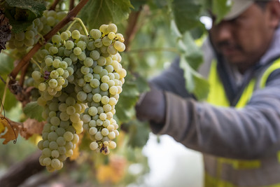 Harvesting Chardonnay in Napa.