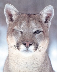 1140winking-cougar-posters