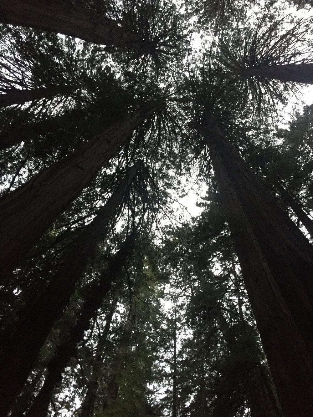 The Redwoods of Muir Woods are over 250 ft. and range in width to 14 ft. Some of these big guys are over 1,000 years old!