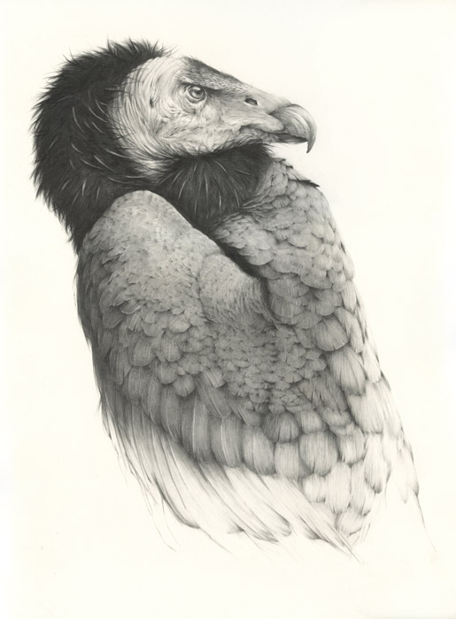 vanessafoley-californiacondor