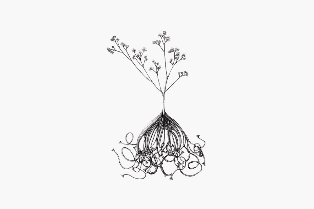 Pluchea illustration_mod.jpg