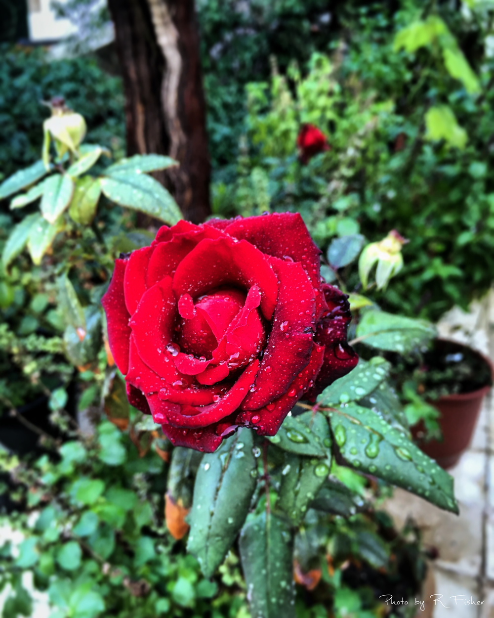 """A beautiful Rose"""