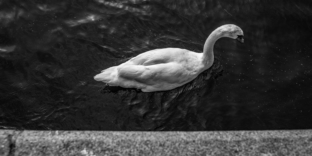A swan on The Vltava in Praha