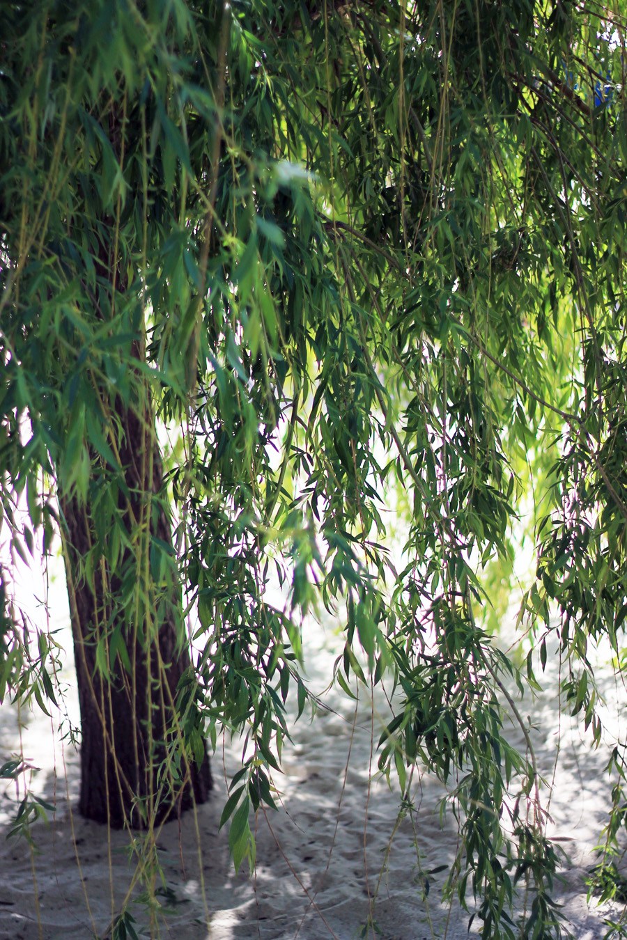 weeping willow leaves green beach