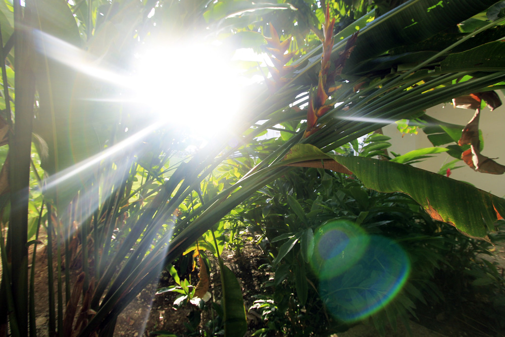 lens flare banana palms leaf jamaica montego bay plants.jpg