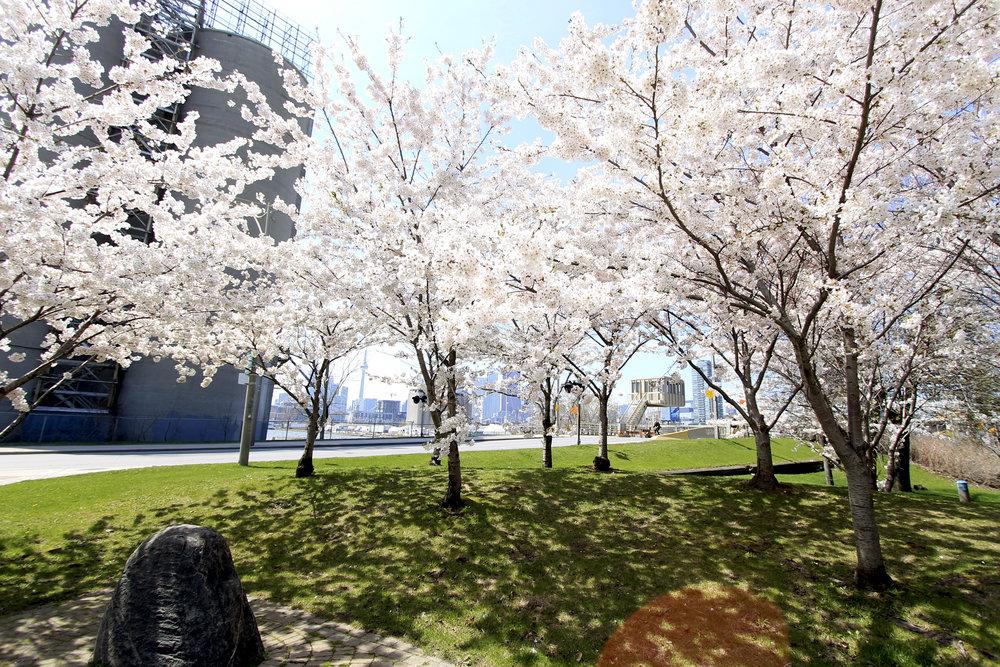 cherry street blossoms sakura blooms toronto.jpg