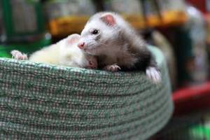 Ferret | Ferrets for Sale Nassau County | Ferrets for Sale Suffolk County