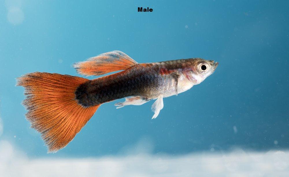 male guppy.jpg