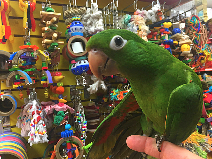 White Eyed Conure - For Birds Only - December 19, 2017.PNG