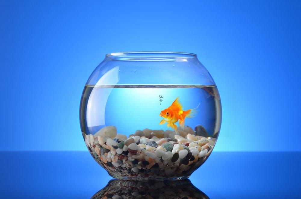 Goldfish - For Birds Only - January 3, 2018.jpg