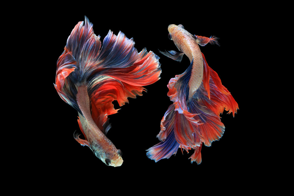 Red Betta Fish - For Birds Only - January 4, 2018.jpg