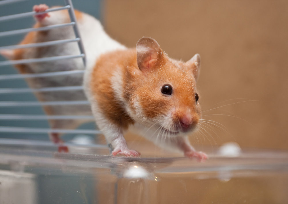 Up Close of Hamster | Hamsters for Sale Nassau County | Suffolk County