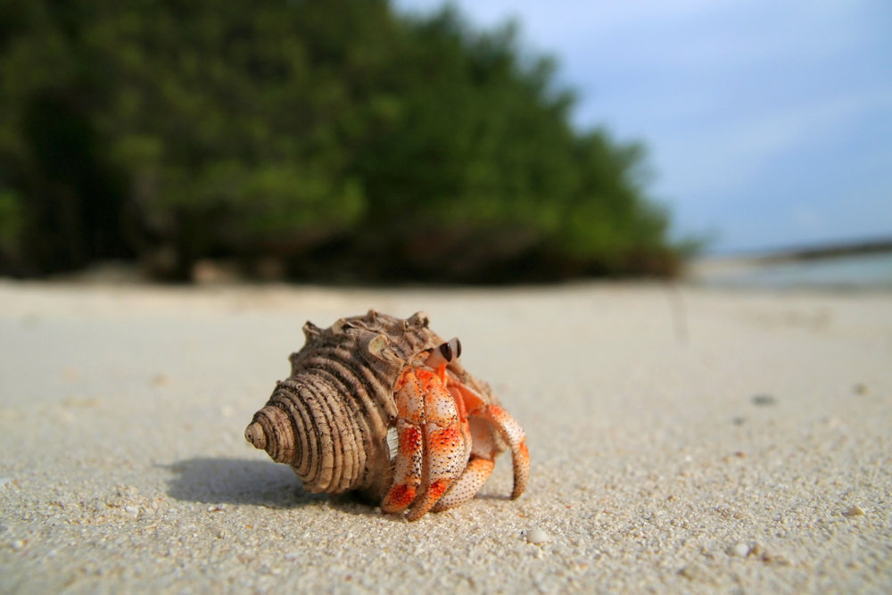 Hermit Crab - For Birds  Only - January 24, 2018.jpg