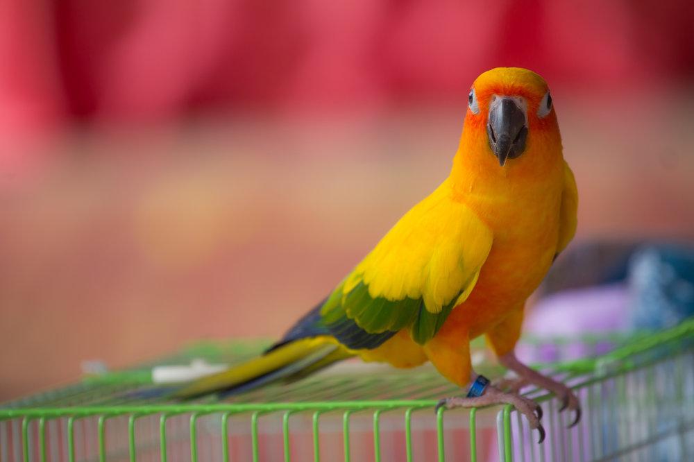 Sun Conure Parrot.jpg