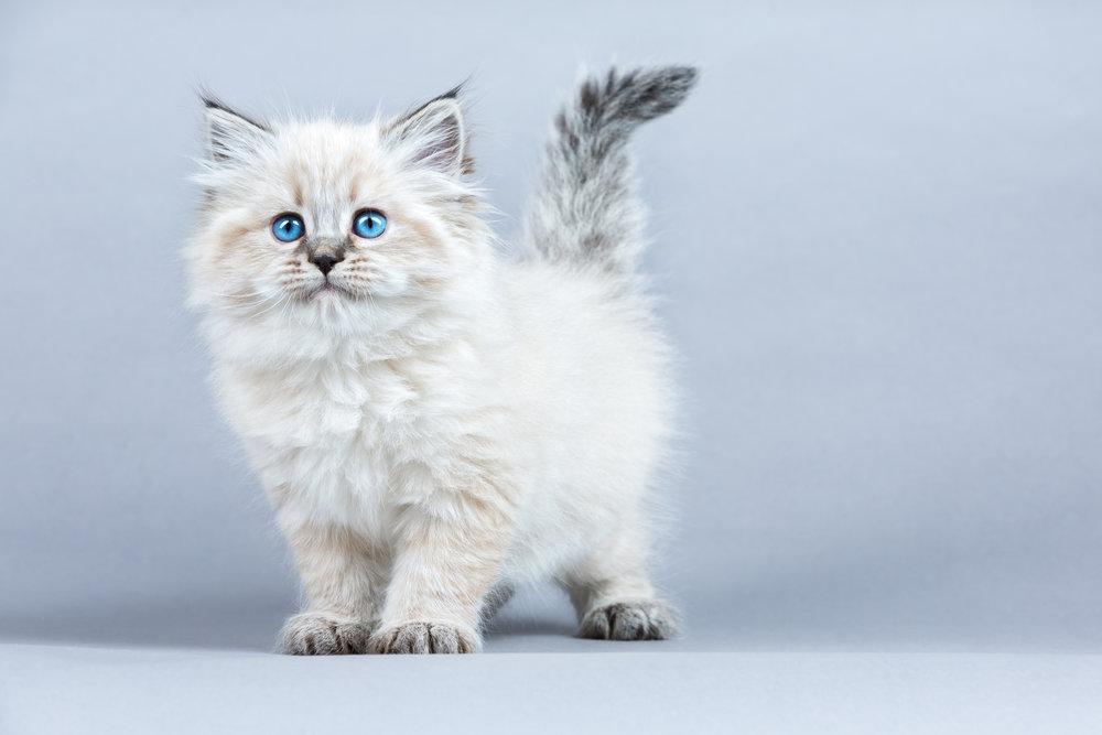 Siberian Kitten - July 18, 2018.jpg