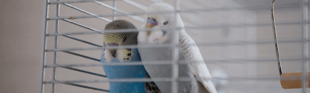 two parakeets.png