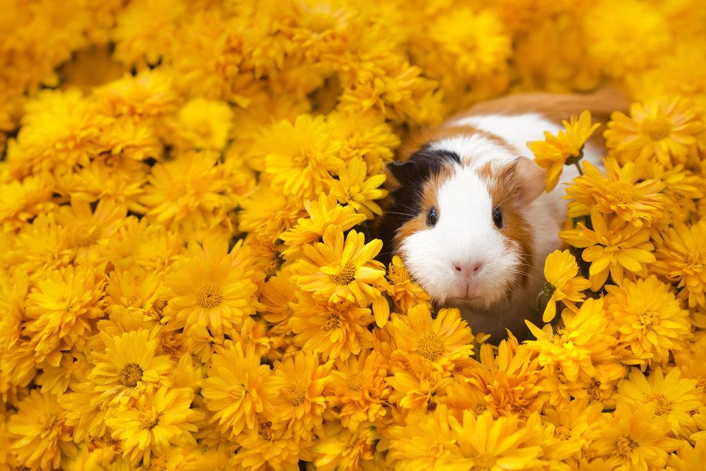 guinea pig - nov 15, 2018.jpg