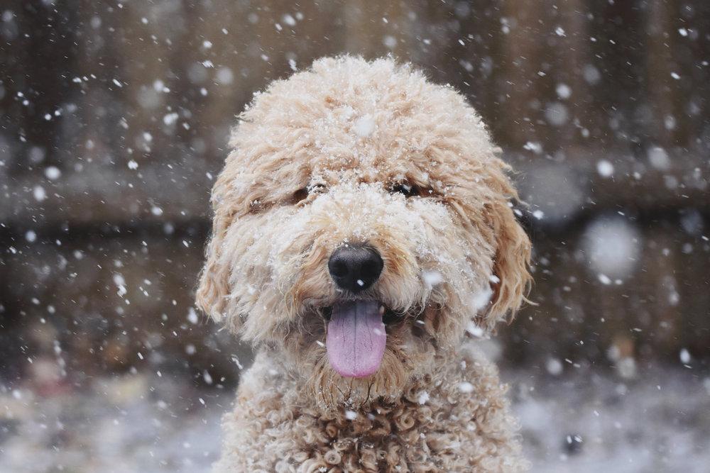 snow dog - dec 6, 2018.jpg