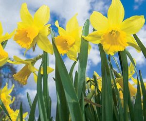 march-daffodil-300x249.jpg