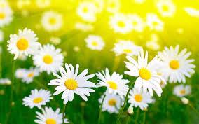 april-daisy.jpg