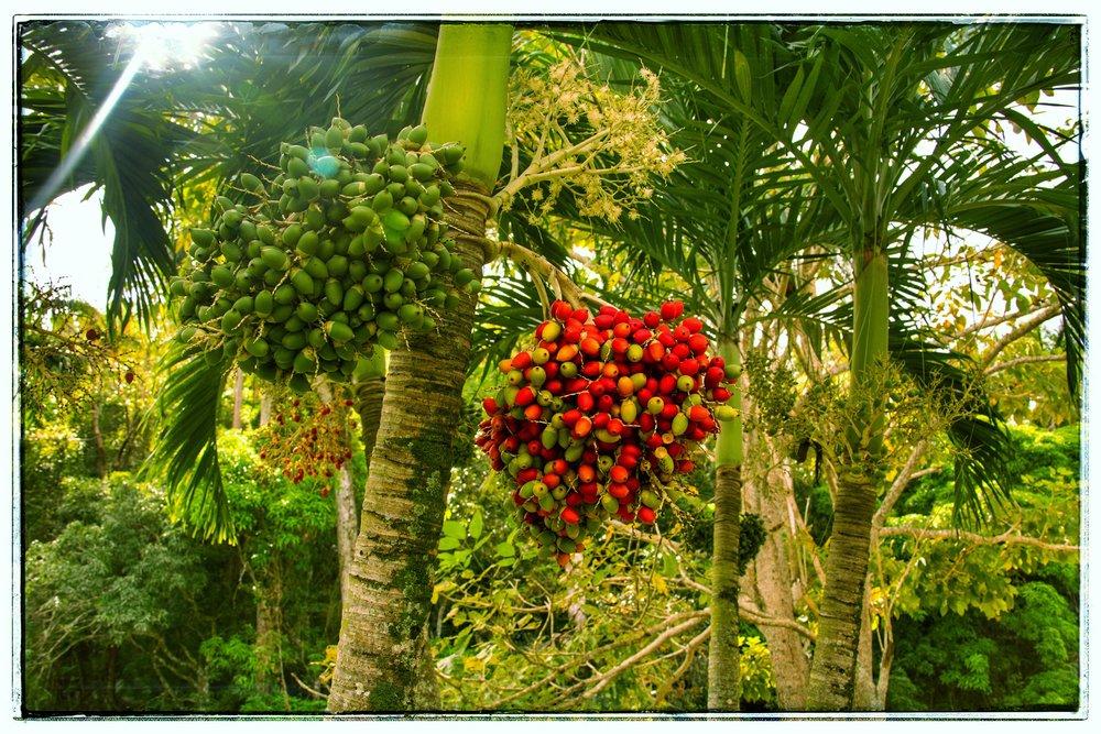 The Christmas palm.