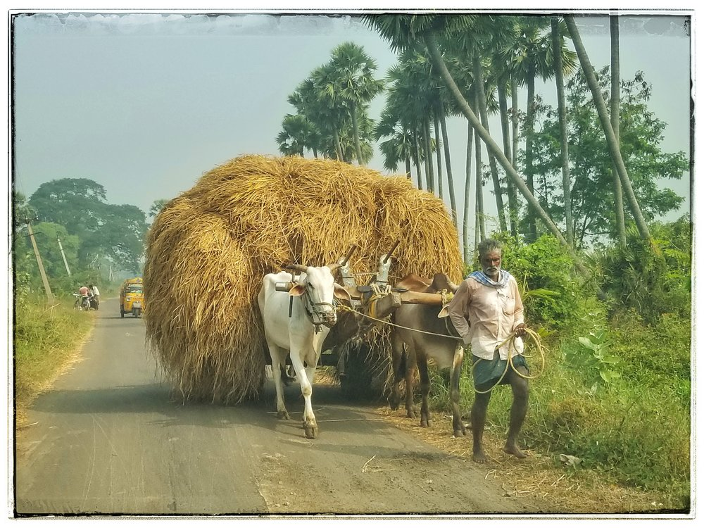 Cows pulling hay cart in Southern India. They do have the sacred cows work in the fields as a form of blessing to the crops.