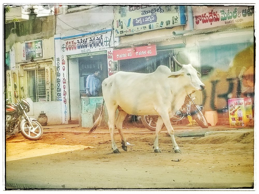 This is more typical though, Sacred Hindu cows roam the streets in India. They are fed by getting scraps or by devout Hindus.