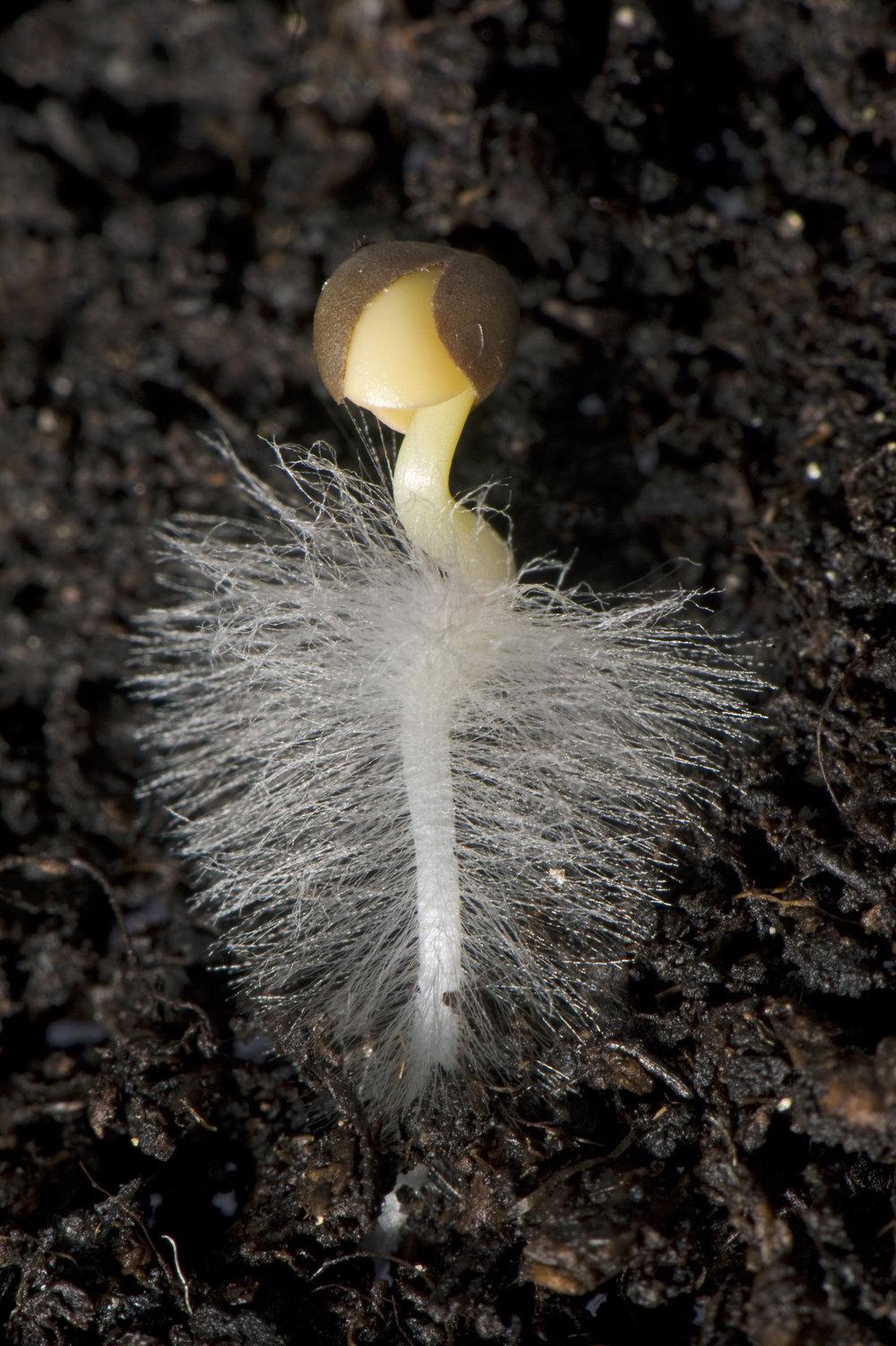 seed radicle.jpg