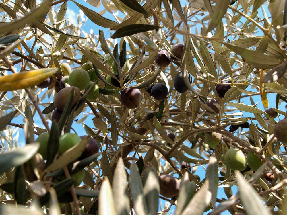 32b Souad Olives and leafs-Edit.jpg