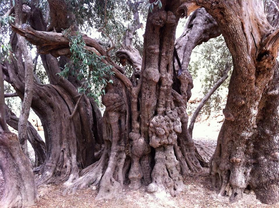 De oudste olijfboom in Palestina