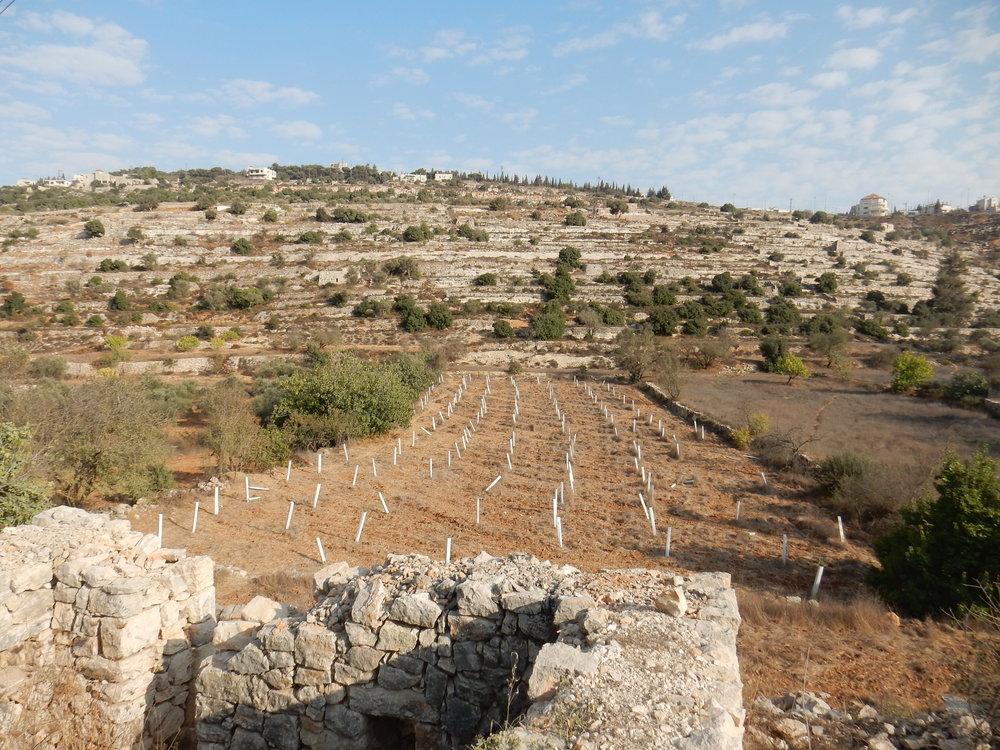 Veld met jonge olijfbomen