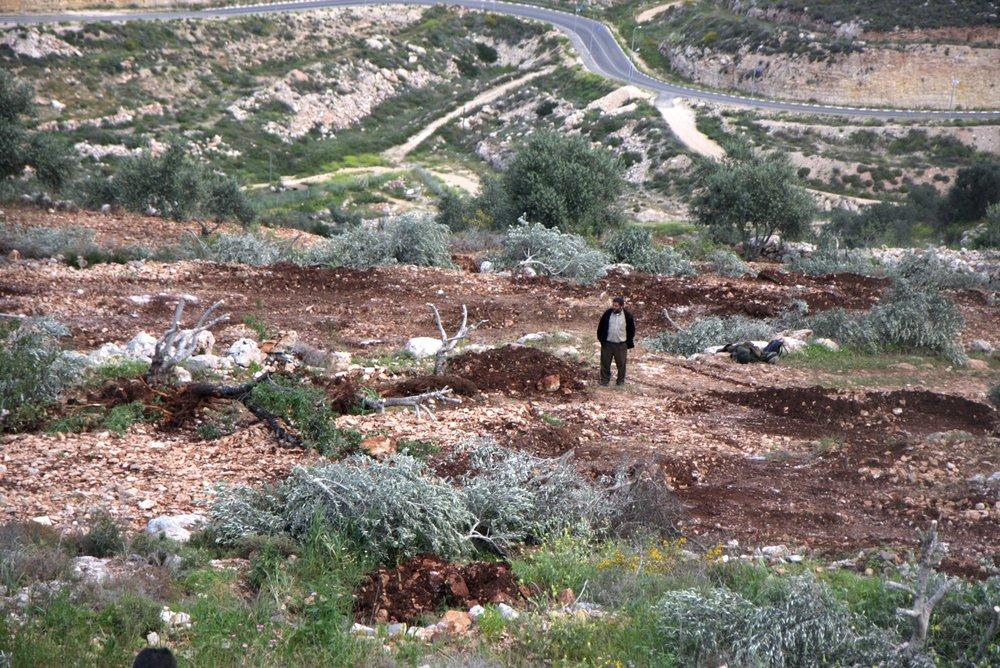 Vernielde olijfbomen, met op de achtergrond een bypass road. Foto: Anne Paq  activestills.org