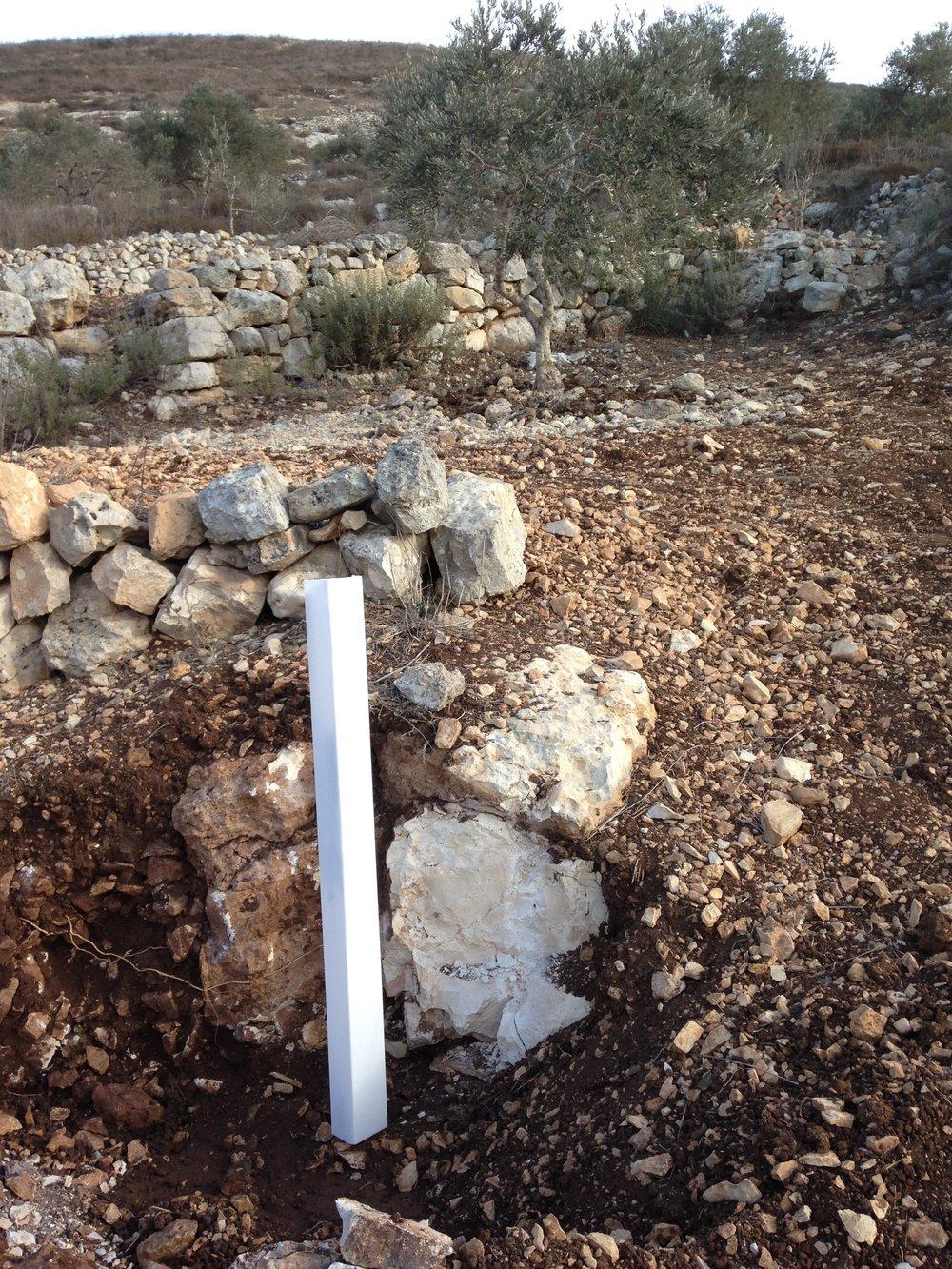 In de witte beschermhuls groeit een van de 1100 olijfbomen