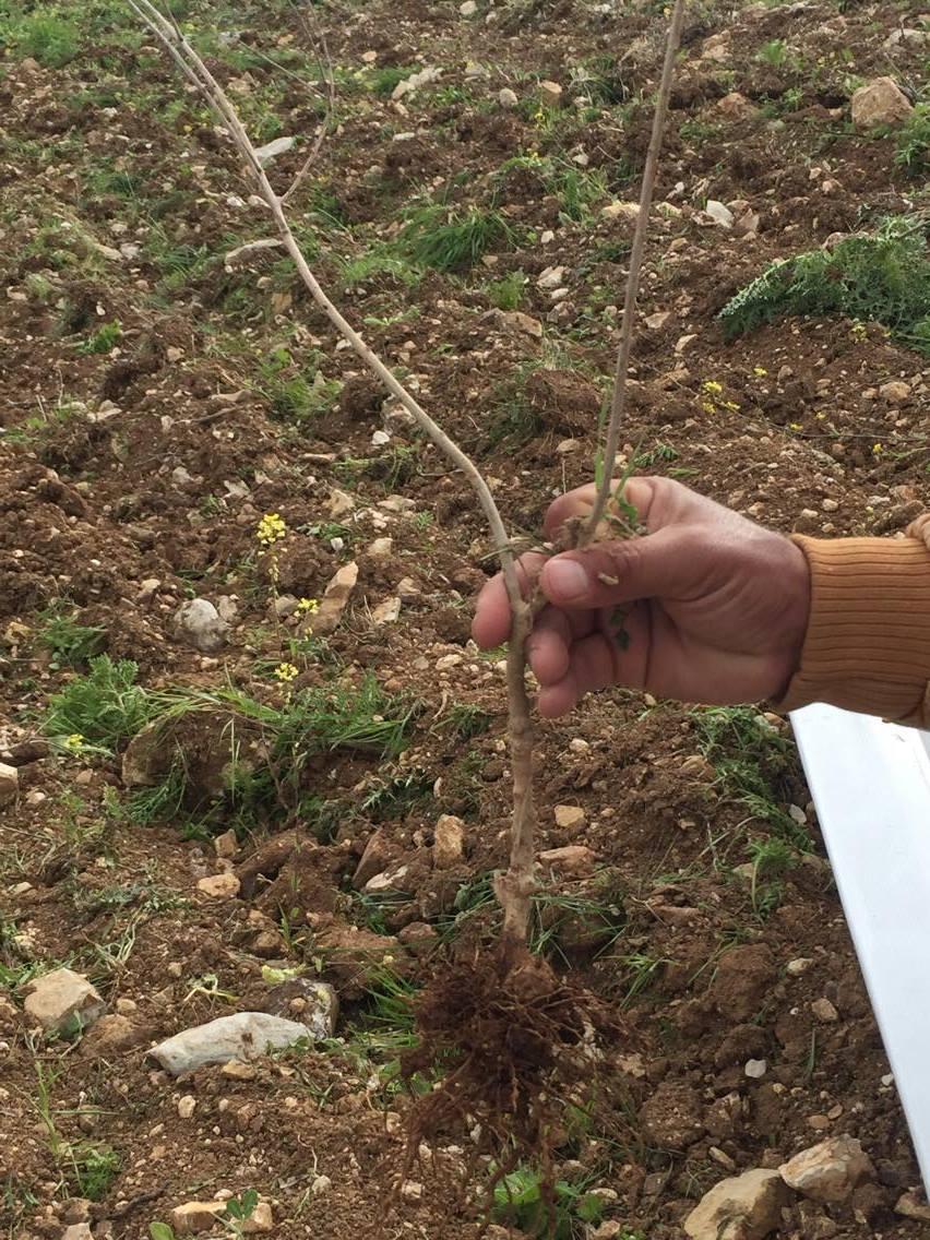 een uitgetrokken olijfboompje