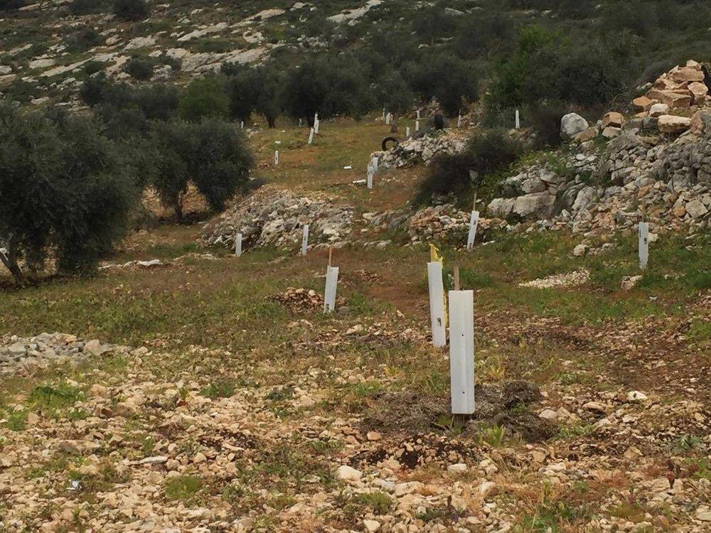 Een aantal van de Ds. Ader-olijfbomen groeit in het Palestijnse landschap. De beschermhulzen zorgen ervoor dat geiten de boompjes overslaan.
