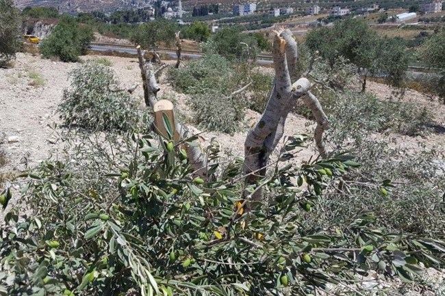 "Olijfbomen vernietigd in Burin (Foto"" Rabbis for Human Rights)"