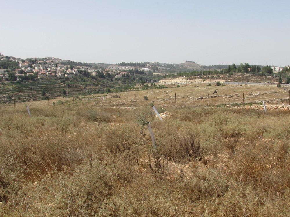 Een aantal jonge olijfbomen, de witte hulsen beschermen tegen hongerige geiten