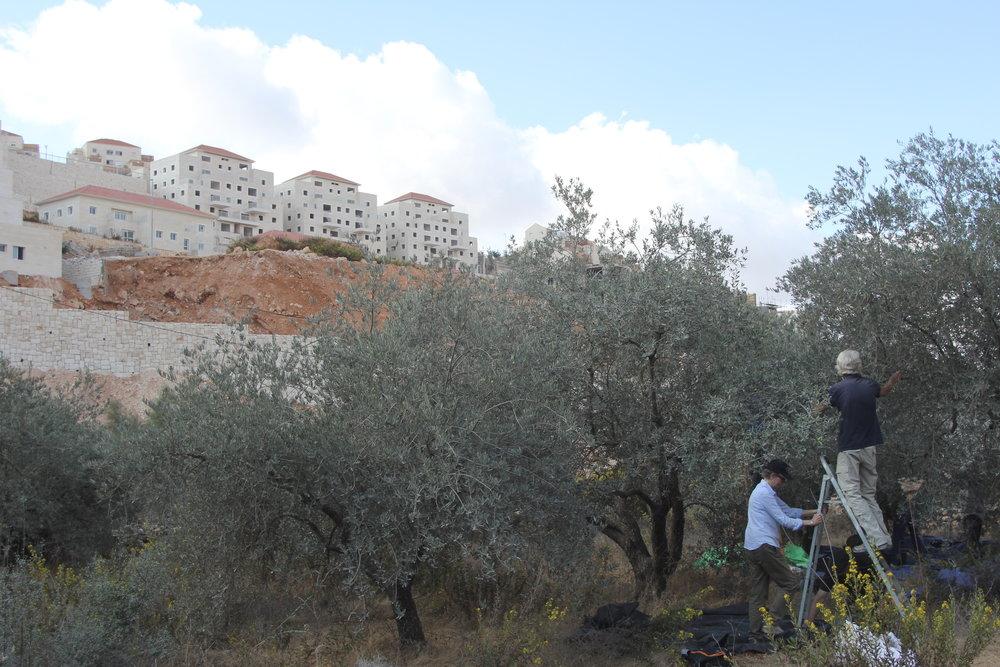 Illegale nederzetting dichtbij het land van de Palestijnse boer, vrijwilligers helpen met olijven oogsten