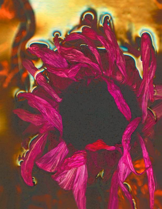 Fushia Sunflower
