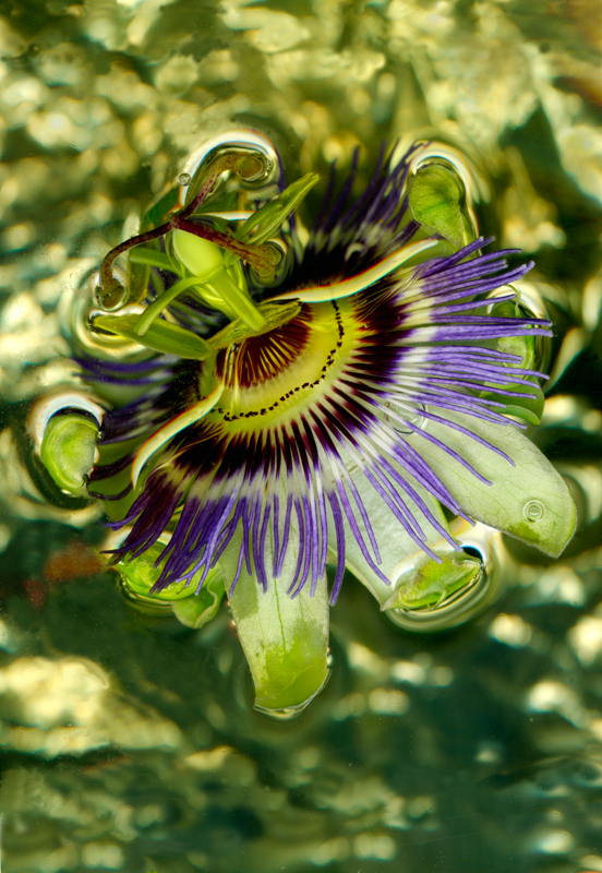 Passion Flower, Shiny & Green