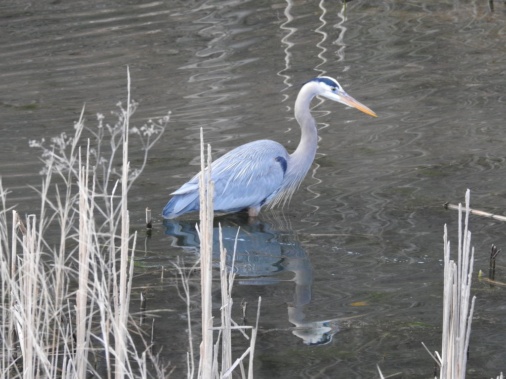Blue Heron wading in the canal at Great Falls, Potomac, Maryland